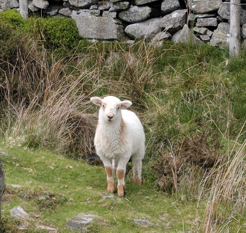 Junges Schaf im Snowdonia-Nationalpark in Nordwales